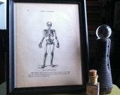 Antique Short Bones Skeleton Print