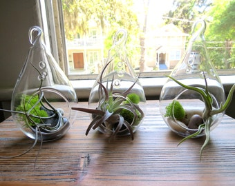Hanging Air Plant Terrariums - Trio of Teardrop Terrariums - Gray Green Leaves - Fast FREE Shipping - 30 Day Guarantee - Air Plants for Sale