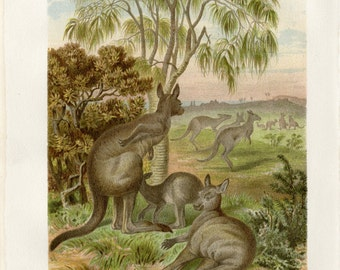 Kangaroo Art Print C.1882 Antique Lithograph - Wall Art, Home Decor, Unique Gift - Australia Outback Natural History