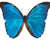Real Blue Morpho, Morpho menelaus, Butterfly, spread for your project or laminated or unmounted