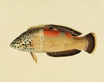 antique fish print, DIY beach cottage home decor, a vintage printable image, no. 746.