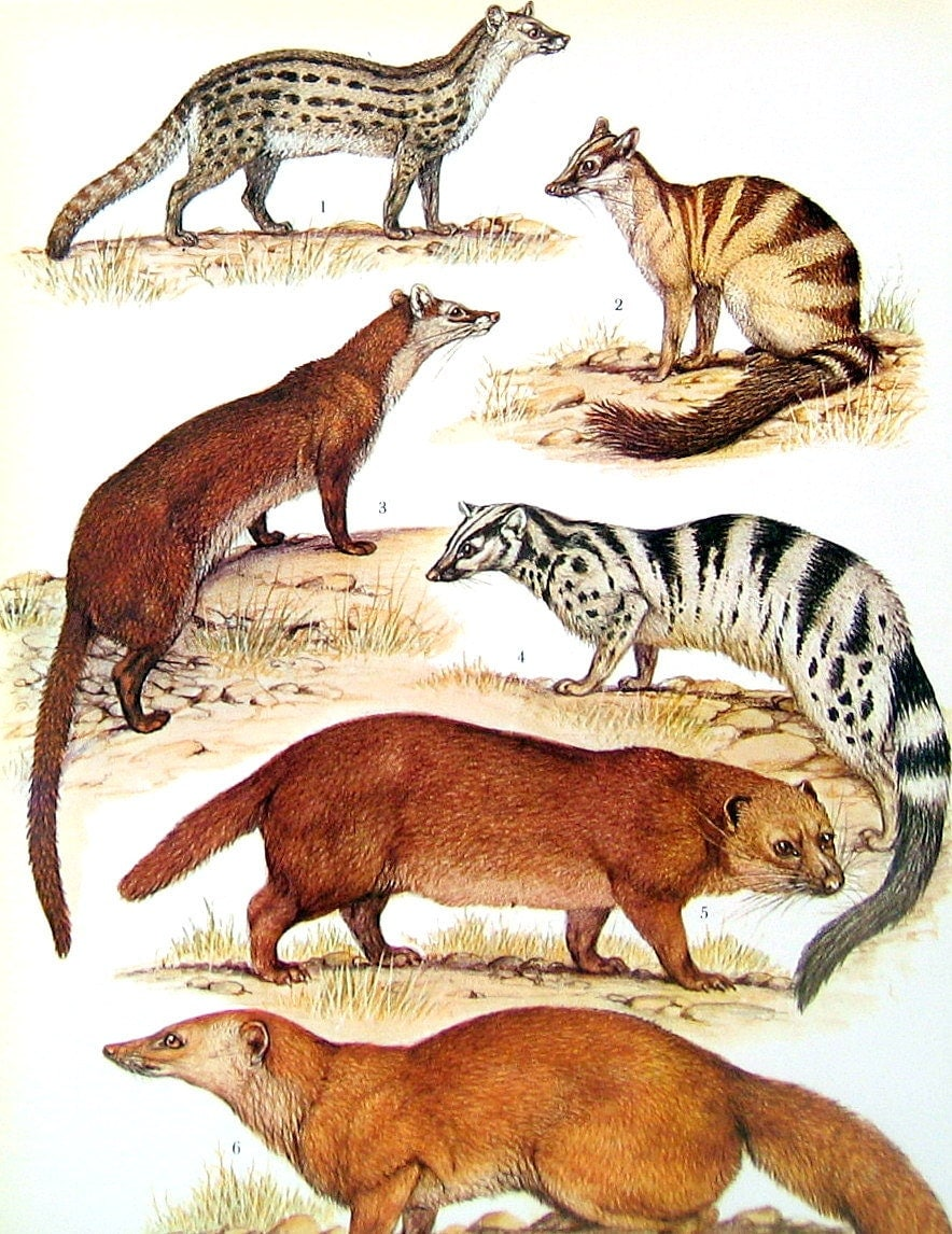 Animal Print Mongoose Fossa And Civets 1973 Vintage