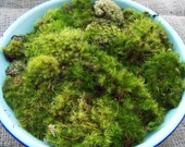 LARGE Box Green Variety Fresh Forest Live Moss North Carolina Nature Fairy Miniature Bonasi Landscape Terrarium Sampler