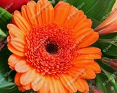 Vibrant Orange Gerbera Daisy Floral Fine Art Photography Photo Print