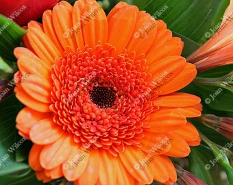 Vibrant Orange Gerbera Daisy Floral Fine Art Photography Photo Print