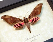 Real Framed Rare Moth Adhemarius Gannascus Pink Hawkmoth Costa Rica Shadowbox Display 8172