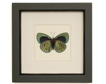 Real Butterfly Charles Darwin Framed Insect Taxidermy Callithea philotima F1058