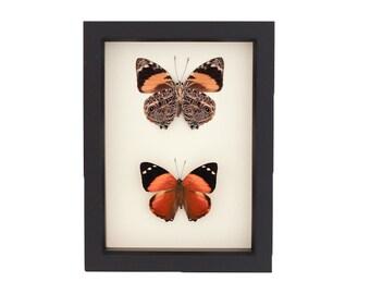 Real Framed Butterflies Blomfild's Beauty Smyrna blomfildia