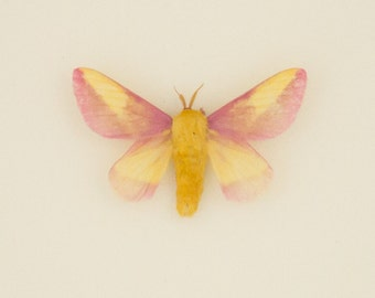 Real Framed Rosy Maple Moth Natural History Display Shadowbox