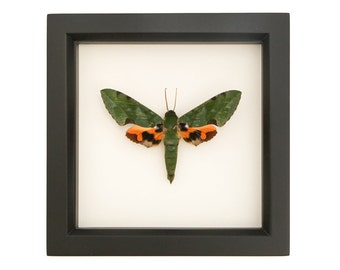 Real Framed Moth Verdant Sphinx Moth Display Taxidermy