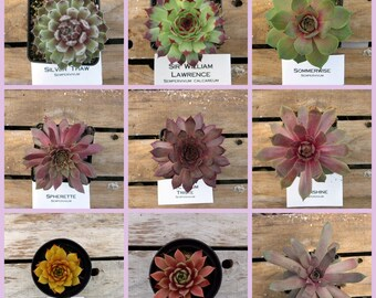 Sempervivum, Choose your Winter Hardy Hens and Chick Succulent, #SW6/ Winter Hardy Plants / Rock Garden Plants / Succulent Favors