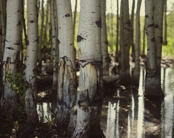 Quaking Aspen Photograph