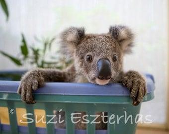 40% OFF SALE, Baby Koala Photo, Baby Animal Nursery Art Print, Koala Bear, Animal Wall Art, Animal Nursery Decor, Baby Nursery, Baby Shower
