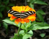 Butterfly Photographic Art Print - 5x7 Photograph