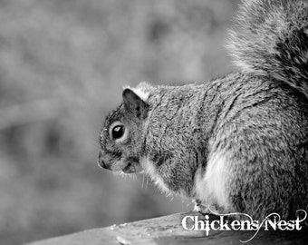 Pleasantly Plump Black And White Photograph, Squirrel, Grey Squirrel