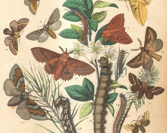 1863 Antique Hand Coloured Copper-plate Engraving of Lappet Moths, Lappet, Pine Moth, Poplar Lappet