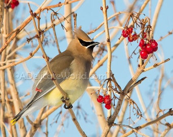 Cedar Waxwing Print -  Songbird Picture, 5x7 Photograph, Waxwing in Berry Bush