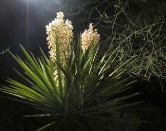 Flower Photography, Blooming Yucca Prints and Cards
