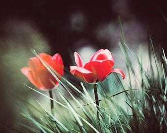 "Red Tulip Print - black green red flower photography nature wall art dark botanical photo modern picture fine art, ""Petals in the Grass"""