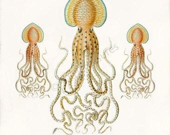 Antique Octopus Art Print - Pinnoctopus Cordiformis - Natural History