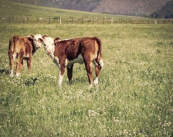 Baby Cows Art Print New Zealand Nature Animal Photography Baby Cows Rustic Hunter Green Grass Field Home Decor Brown and White Cows Wall Art