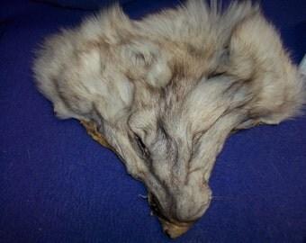 1 real animal fur Tanned Blue fox face head taxidermy skin pelt hide part