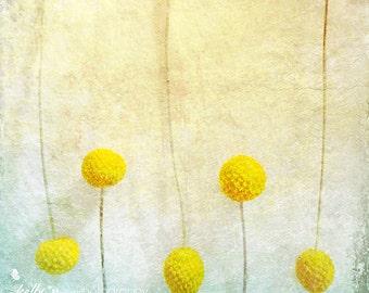 Flower Photography- Yellow Flowers Photo, Billy Balls Print, Craspedia Flowers, Floral Still Life Print, Floral Art, Yellow Home Decor
