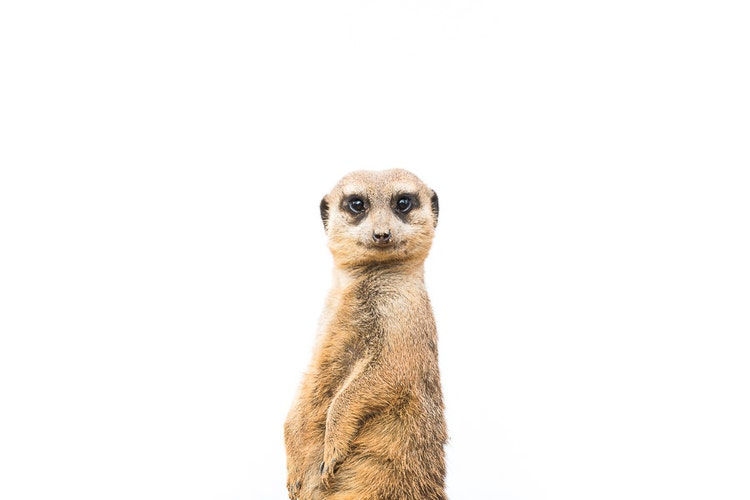 Meerkat Timon Cute Baby Animal Photography By