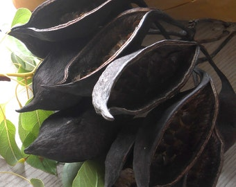 40 Seed Pods, Kurrajong Bottle Tree Pods, For Display or Crafting