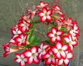 Adenium obesum 10 Seeds Bulk desert rose Bonsai Tree Flower Seed T030