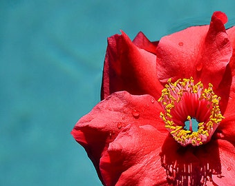 Hibiscus Flower Photograph  Swimming Pool Art  Pool House Decor  Red  Blue  New Home Gift   Office Art