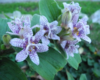 Toad Lily  plants