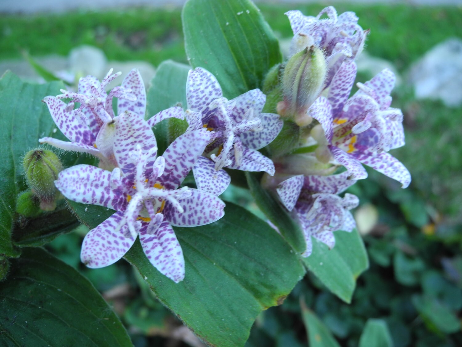 Toad lily lookup beforebuying toad lily plant izmirmasajfo