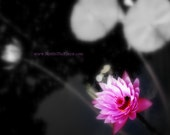 DIGITAL DOWNLOAD - Glowing Lotus - pink waterlily - pink black white - inspirational floral photography - add custom message quotes poems
