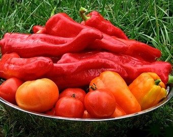 Red Marconi sweet pepper, Italian heirloom, 25 seeds, roasting pepper, crispy in salads, huge fruit, compact productive plants, great flavor