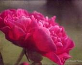 Peony 994, Fine Art Photography, Flower Photography, Floral Photography, Botanical Photography