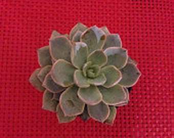 Succulent Plant Echeveria Subsessilis