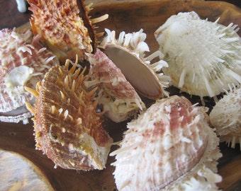 Pale White/Brown Spiky Spiny Oyster Shells (2) - Shells - Seashell Supply  - Craft Seashells - Coastal Home Decor