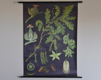 Vintage Botany Print.  Authentic.  Oak (Quercus pedunculata). Pull Down School Chart. Jung Koch Quentell. Germany.