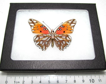 Real framed orange silver california gulf fritillary vanillae verso framed butterfly insect