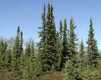 50 Black Spruce Tree Seeds, Picea mariana