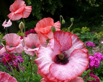 Mother of Pearl Poppy, Pastel Shades, 25 Seeds