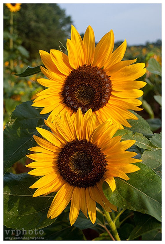 Shocking image with regard to printable pictures of sunflowers