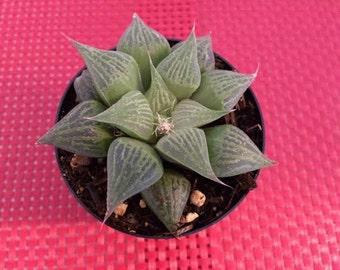 Succulent Plant Split Rock Lapidaria By Succulentbeauties