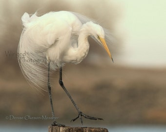 Bird Photography-Great White Egret-Flowing Feathers-8x10 Fine Art Print -Serene Home Decor