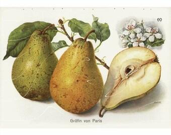 Original Antique Fruit Print -  Countess of Paris Winter Pears