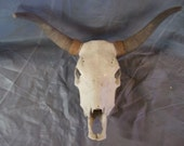 Real cow bull steer skull animal head part skeleton bone craft taxidermy horn