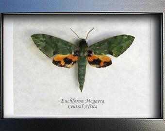 Real Verdant Sphinx Moth Euchloron Megaera From Africa In Shadowbox