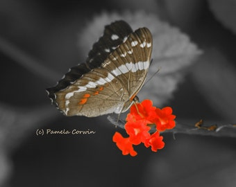 """butterfly photo: butterfly black white red 8x10"""" photo with pop of color butterfly art"""