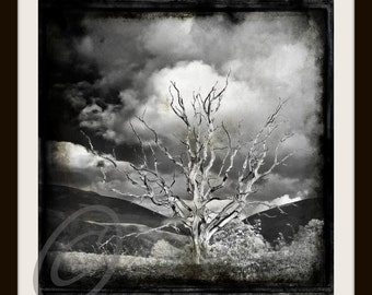 annies tree (monochrome)  12 x 12 limited edition Glicee print